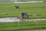 _1952. Rizieres au Nord Est d'Hanoi.jpg