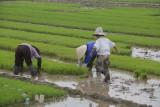_1970. Rizieres au Nord Est d'Hanoi.jpg