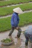 _1971. Rizieres au Nord Est d'Hanoi.jpg