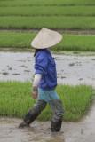 _1992. Rizieres au Nord Est d'Hanoi.jpg