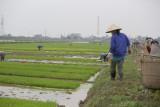 _1995. Rizieres au Nord Est d'Hanoi.jpg