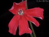 Scarlet Butterwort: Pinguicula laueana