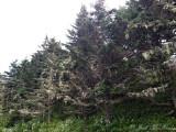 Lichen-covered Fraser Firs