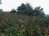 Beaked Dodder habitat on Mt. Mitchell, NC