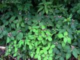 Chelone lyoni: Pink Turtlehead- Mt. Mitchell, NC