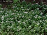 Whorled Wood Aster; Oclemena acuminata