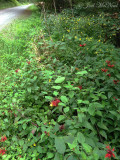 Bee Balm, Beaked Dodder, and Pale Jewelweed; Pocahontas Co., WV