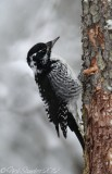 American Three-toed Woodpecker female