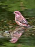 Purple Finch