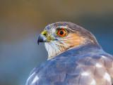 Sharp-shinned Hawk 2