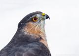 Sharp-shinned Hawk 3