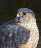 Sharp-shinned Hawk 4