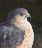 Sharp-shinned Hawk 5