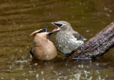 Cedar Waxwing adult and juvenile