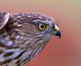 Sharp-shinned Hawk - juvenile male