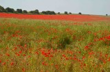 Poppies Field in Sussex