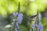 Hummingbird Moth.jpg