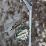 Yellow-shafted Northern Flicker female.jpg