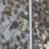 Yellow-shafted Northern Flicker male.jpg
