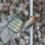 Red-bellied female.jpg