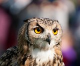 D3_2151 Indian Eagle Owl.jpg