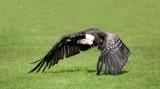 D3_2160 Rupples' Griffon Vulture.jpg