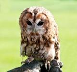 D3_2163 Tawny Owl.jpg
