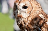 D3_2164 Tawny Owl.jpg