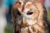 D3_2165 Tawny Owl.jpg
