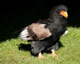 D3_2177 Bateleur Eagle.jpg