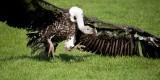 D3_2152 Ruppells Griffon Vulture.jpg