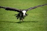 D3_2154 Ruppells Griffon Vulture.jpg