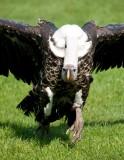D3_2156 Ruppells Griffon Vulture.jpg