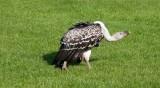 D3_2157 Ruppells Griffon Vulture.jpg