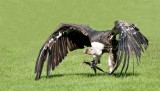 D3_2158 Ruppells Griffon Vulture.jpg