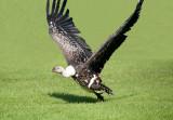 D3_2159 Ruppells Griffon Vulture.jpg