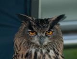 D3_2171 European Eagle Owl.jpg
