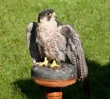 D3_2173 Peregrine Falcon.jpg