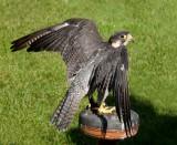 D3_2176 Peregrine Falcon.jpg