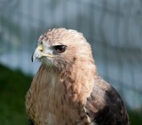 D3_2178 Red Tailed Hawk.jpg