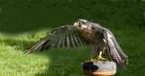 D3_2179 Peregrine Falcon.jpg