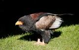 D3_2166 Bateleur Eagle.jpg