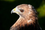 D3_2169 Red Tailed Hawk.jpg