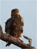 D3_0267 Young Bateleur Eagle
