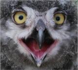 D100-032430707 Snowy Owl Chick.jpg