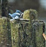 Tidal Falls Kingfishers