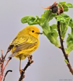 Tidal Falls Songbirds
