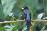 Yellow-legged-Thrush.jpg