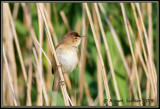 Reed Warbler 2 (Acrocephalus scirpaceus)