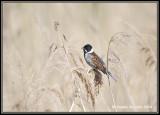 Reed-bunting1.jpg